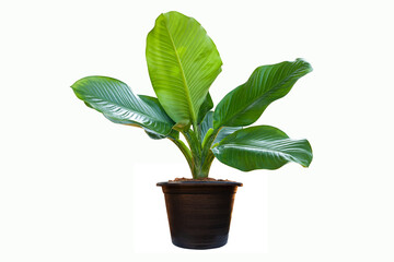 Wall Mural - Dieffenbachia plant in black flowerpot with isolated on white background