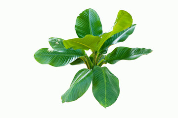 Wall Mural - Dieffenbachia plant isolated on white background with clipping path for design elements
