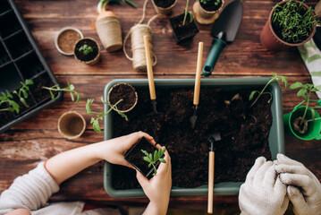 Fototapeta Female hands plant eco vegetable seeds. Gardening. Seedling