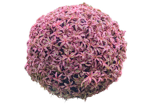 Pink small bromeliad decor in a garden by planting on sphere shape hang in a garden. Nature tree and flower background in outdoor. Pink bromeliad with white background