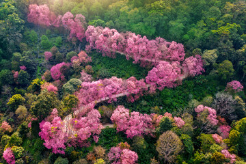 Wall Mural - Aerial view of pink cherry blossom trees on mountains.