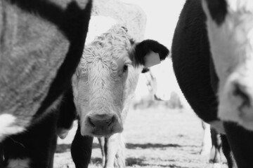 Wall Mural - Curious Hereford cow peeking from behind cattle in herd close up with rustic black and white style.