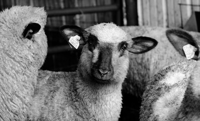Wall Mural - Curious Shropshire lamb close up in black and white, young sheep with flock.