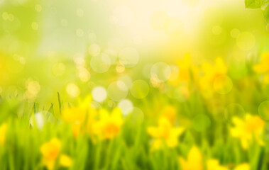 Daffodils and daffodils in beautiful natural landscape with bokeh and blur in spring.