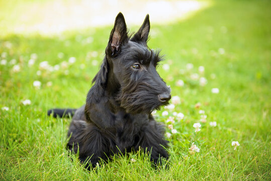 Portraits of scottish terrier one year old puppy.