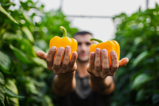 Male farmer holding fresh harvested yellow bell peppers while standing at greenhouse