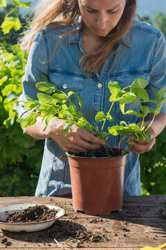 Blond woman transplanting peppermint plant in garden on sunny day