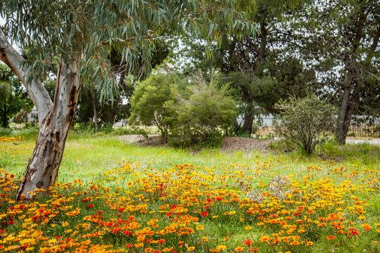 Bright red yellow and orange gazania flowers flowering under a gum tree