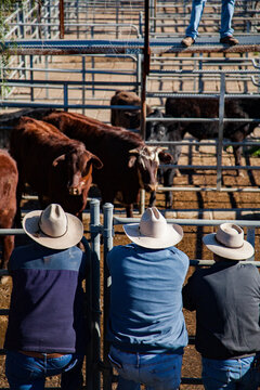 Three men leaning on stockyard fence watching cattle for sale