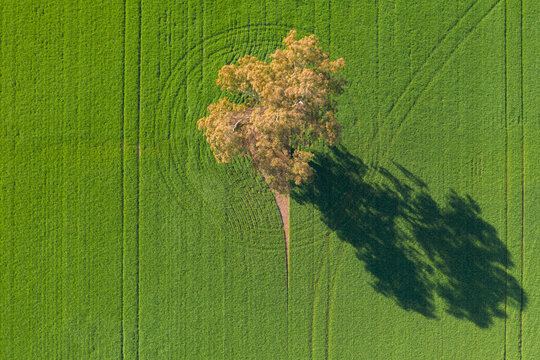 Aerial view of a gum tree in a green paddock casting a long shadow