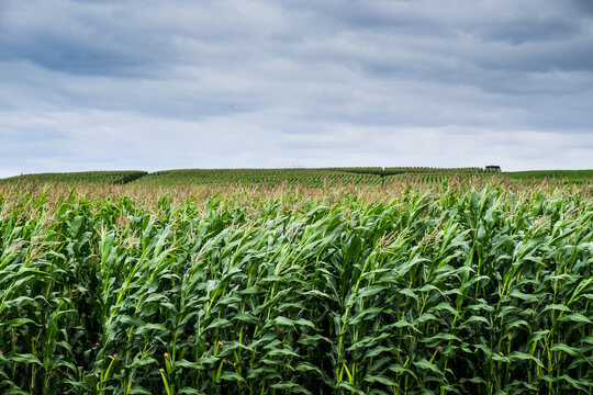 Sweet corn crop waving in the wind almost ready for harvest