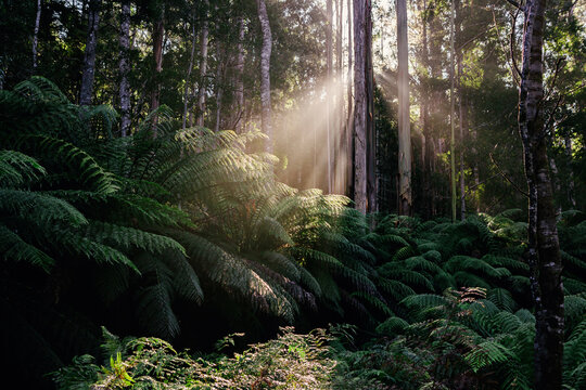 Sun rays filtering into the rainforest in the early morning