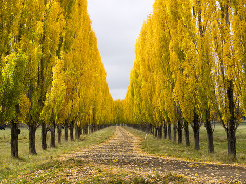 Avenue of golden poplar trees