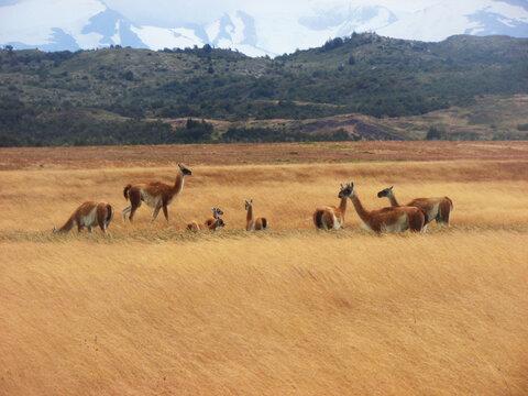 Guanacos en parque Torres del Paine, Región de Magallanes, Chile