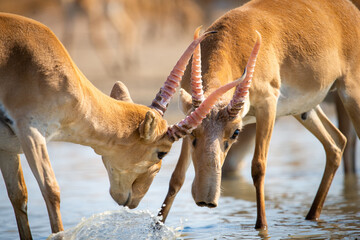 Battle of males during the rut. Saiga tatarica is listed in the Red Book, Chyornye Zemli or Black Lands, Nature Reserve, Kalmykia region, Russia