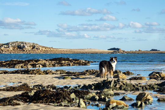 Australian Shepherd Dog on a Breton beach