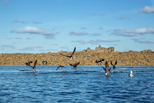 Flight of geese by the sea, in Brittany