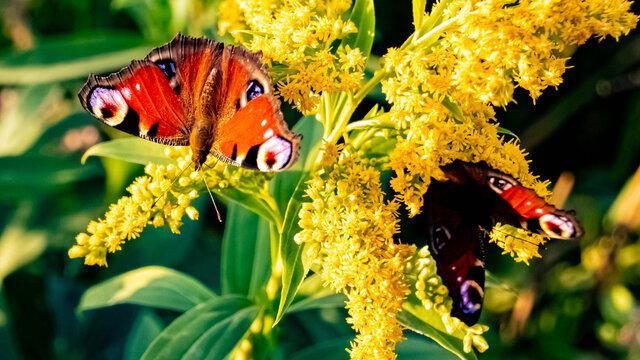 Macro of two beautiful peacock butterflies on a flower