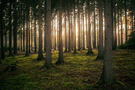 Backlit forest with fog and sun beams
