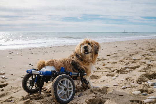 dog in wheelchair on the beach