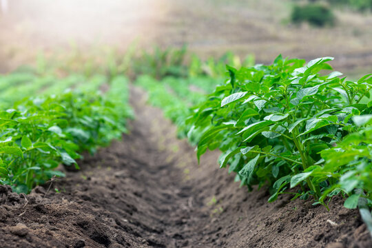 Rows of young of potato plants growing outside under sun.