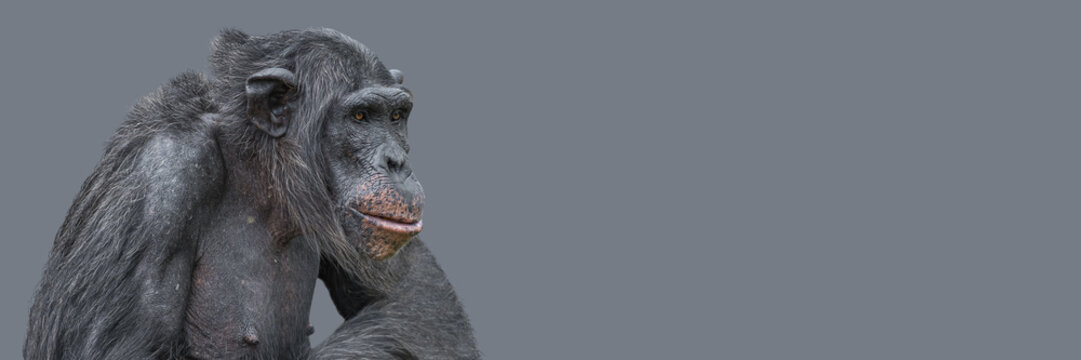 Banner with a portrait of smart looking chimpanzee closeup with copy space and solid background. Concept of wildlife conservation, biodiversity and animal intelligence.