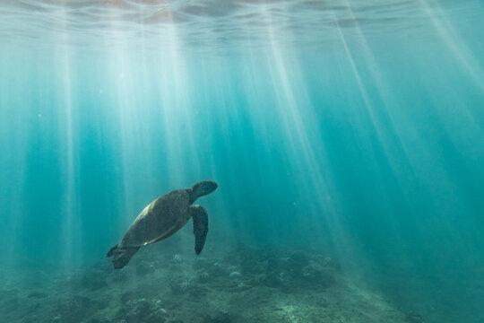 sea turtle swims through light streaks towards the surface of the sea