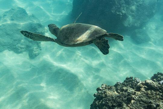Sea turtle swims towards the ocean floor in hawaii