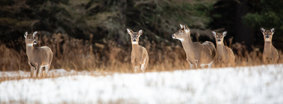 White-tailed deer (Odocoileus virginianus) very alert in a Wisconsin snow covered field in January