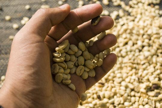 granos de cafe en una mano colombia valle del cauca