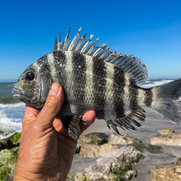 Live Sheepshead fish in the hands of a man against the background of the sea