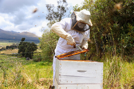 bees in the beehive and the beekeeper moving the frames