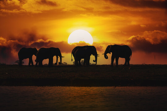 Evening silhouette over sunset of African Elephant, Botswana. Africa safari wildlife