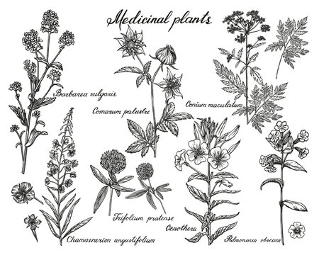Collection of medicinal plants handmade. Herbs sketches set in vintage style. Vector outlines isolated on a white background.