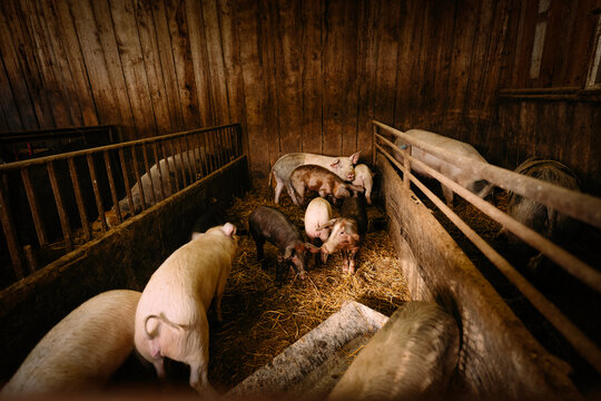 pig in the barn