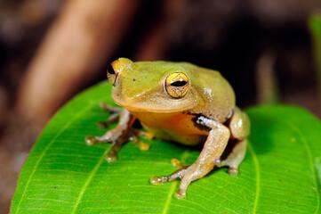 Wall Murals Frog Shrub frog from Sri Lanka // Ruderfrosch auf Sri Lanka (Philautus spec.)