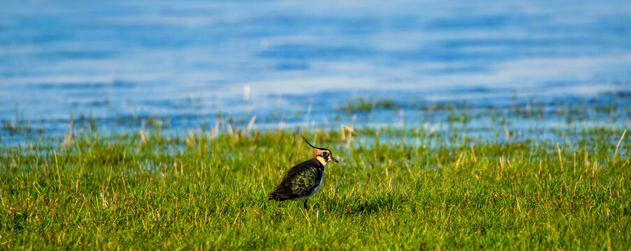 Vendée, France; January 2, 2021: in the marshes not far from Challans a crested lapwing (Vanellus vanellus), a species of shorebirds.