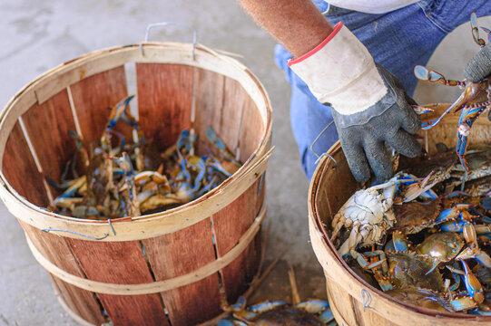 Sorting Blue Crabs