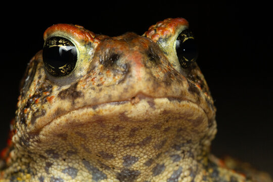 Portrait of an american toad.