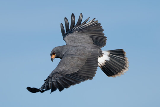 Snail Kite flying searching for prey
