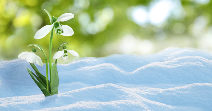 Beautiful snowdrops growing through snow outdoors on sunny day, space for text . First spring flowers