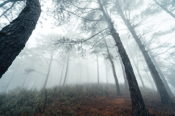 Hiking  In the misty pine forest In the summer morning