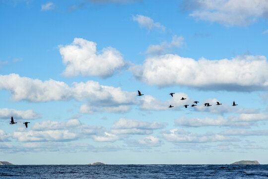 Flight of geese over a beach in Brittany