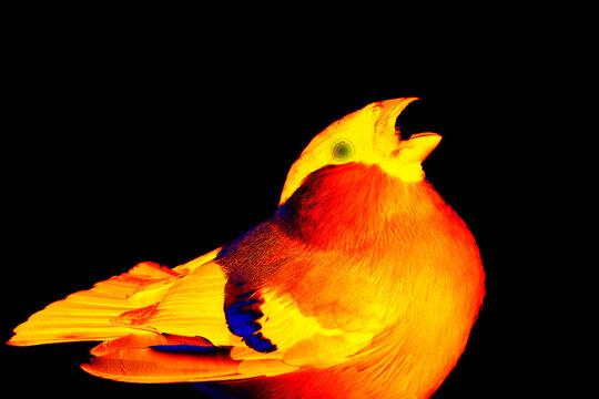 Bullfinch (Snowbird, Pyrrhula pyrrhula, male) in scientific high-tech thermal imager