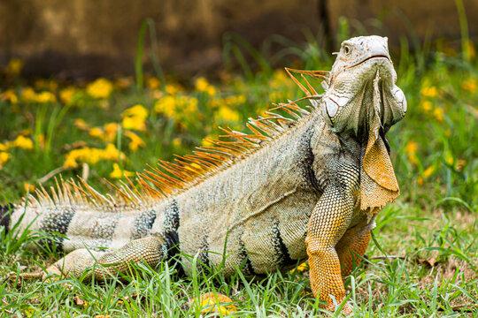 iguana posing and looking