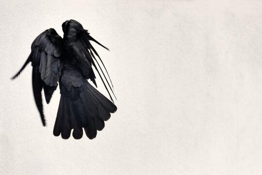 startled crow took flight