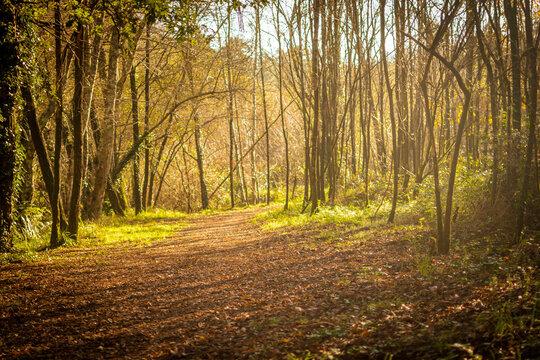 camino o sendero con ambiente fantástico cubierto de hojas atravesando un bosque un día soleado de invierno en Galicia, España