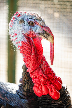 (Selective focus) Stunning close-up view of a turkey grazing on a farm in Italy. Portrait of a turkey on a blurred background.