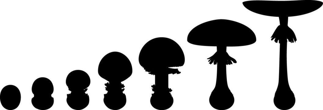 Black silhouette life cycle of fly agaric mushroom. Stages of fly agaric (Amanita muscaria) fruiting body matures isolated on white background