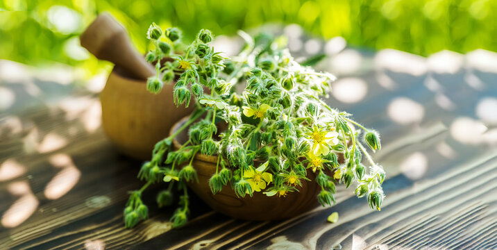 silver cinquefoil, silvery cinquefoil, or silver-leaf cinquefoil plant that is used in medicine as anti-inflammatory, hemostatic, astringent, restorative and bactericidal properties